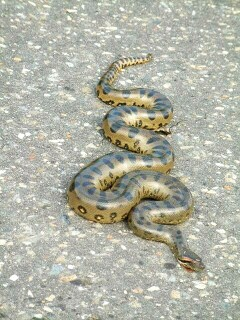 Just a 'little' anaconda, lying on the road