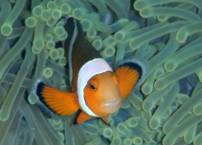 Anemone Fish in the Andeman Islands