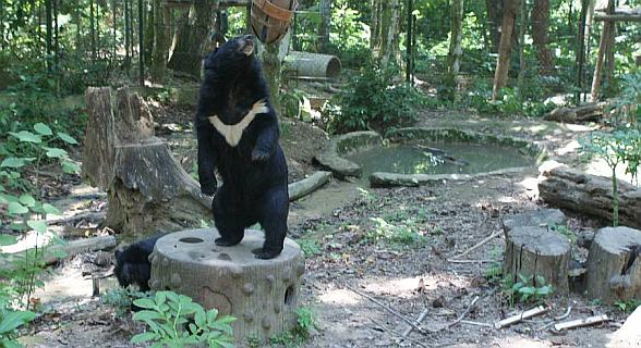 Moon Bear, showing off his distinctive crest on his chest
