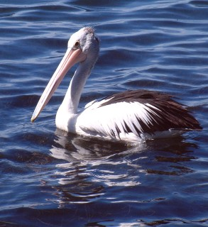 The huge white Australian Pelican