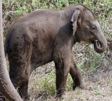 Baby elephant at Jaldapara Wildlife Sanctuary