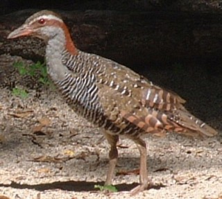 Banded rails are not shy, and are easy to photograph in open spaces.