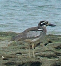 A Beach Stone Curlew on Low Isles, Australia