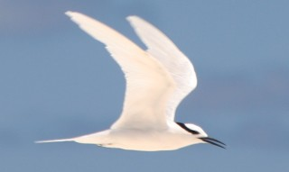 Lovely Black-naped Terns abound in Chagos