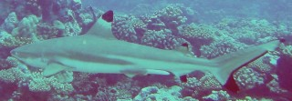 Blacktipped Reef sharks are usually harmless