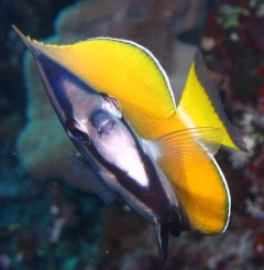 Face to face with the blacklip butterflyfish. Kiss, anyone?