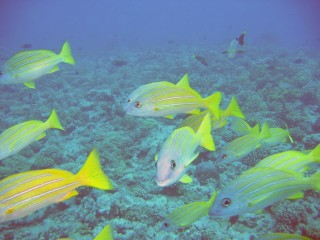 Bluestriped snappers frequently accompany divers in French Polynesia