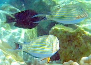 Blue striped surgeon fish blend into the shallow reef environment