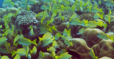 "A school of Blue Stripe Snappers cover a ""thila"""