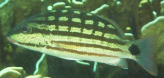 Checkered Snappers were common in Thailand