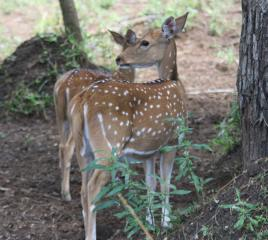 Lovely female and young Chital Deer