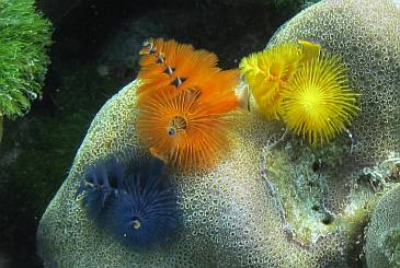 Brilliant Christmas Tree worms on coral at Ko Rok