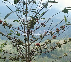 Coffee growns well in the highlands of Indonesia's Flores Is.