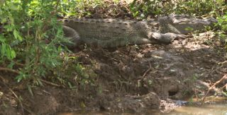 A Mugger Crocodile camouflaged on the bank of a pond