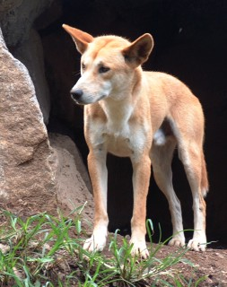 A dingo outside its burrow.