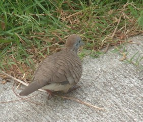 The tiny zebra dove is fairly tolerant of humans.