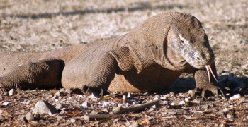 8-foot Komodo Dragon advances, sniffing the air
