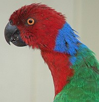 Fiji's Red Shining Parrot