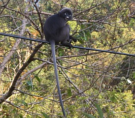 Dusky Langur on the wires in Langkawi