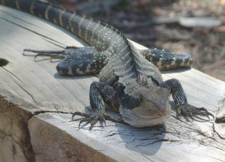 Face to face with an Eastern Water Dragon