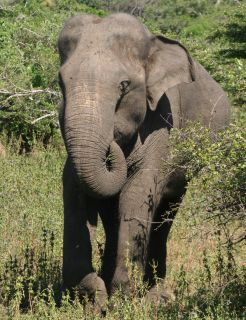 Elephant approaching us in Yala NP