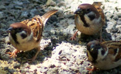 Eurasian Tree Sparrows are very common in Southeast Asia