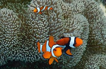 Clown Anemonefish have varying amounts of black