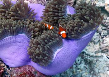 Nemo and family inside a Magnificent Sea Anemone
