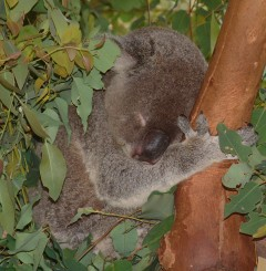 Koalas sleep about 20 of 24 hours a day!