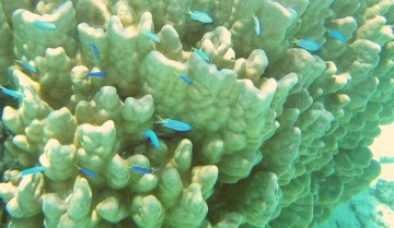 Blue-green chromis swarm a lovely coral head in French Polynesia