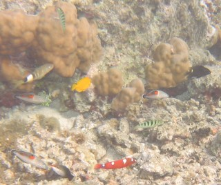 Swarms of fish around a coral head in Raiatea