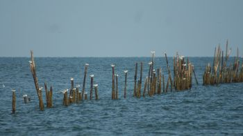 Stakes for fishing nets on the Malay coast