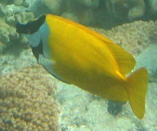 The Foxface Rabbitfish with its dark face bar and fox-like appearance