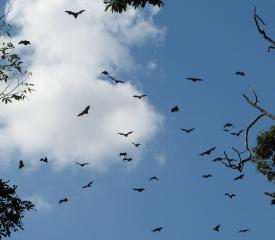 Near sunset the flying foxes take to flight for a night of fruit & nectar feeding
