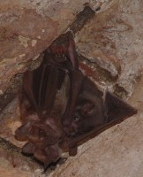 Fruit bats hanging from the ceiling of an old fort, Dominica