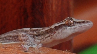 Our galley gecko has large eyes and the characteristic bulbous feet.