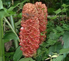 Wild ginger flower, in lowland rainforest