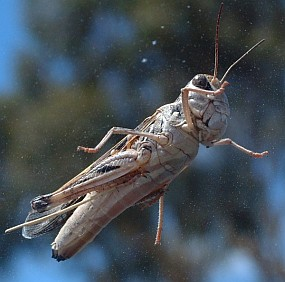 Grasshopper on the windshield