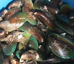 Green mussels in Thailand