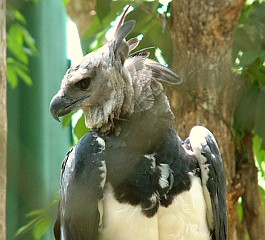 A Harpy Eagle in the botanic gardens of Panama