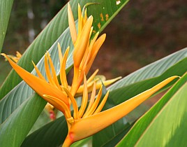 One of many Strelitzia species, of the banan family, Malaysia