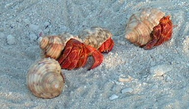 Hermit crabs are ubiquitous on the atolls of French Polynesia.