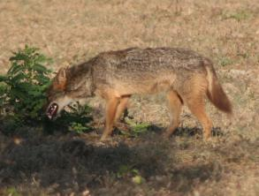 A Jackal checks a bush for small prey.