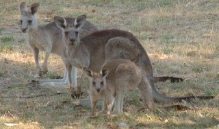 A family of kangaroos in SE Australia. Curious and alert.