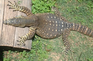 The spotted form of lace monitor