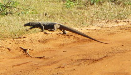 Land Monitor lizard crossing a road