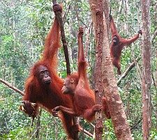 Orangutans spend most of their time in the trees