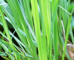 Lemon grass is used in many foods and cosmetics