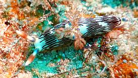 A Lined Nembrotha Nudibranch in the soft corals of Triton Bay