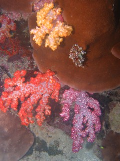 Fiji is famous for its brilliantly colorful soft corals!